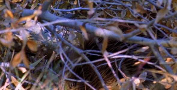 VideoHive Beaver in Brush 1583173