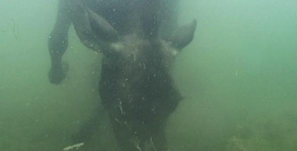 VideoHive Cow Moose Underwater 1583181