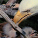 Eaglets With Mum - VideoHive Item for Sale
