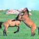 Wild Horses Fighting 2 - VideoHive Item for Sale