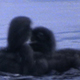 Two Loon Chicks Fight Sequence - VideoHive Item for Sale