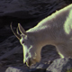 White Mountain Goat - VideoHive Item for Sale