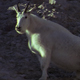 Mountain Goat on a Steep Slope - VideoHive Item for Sale