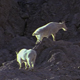 Herd of Mountain Goats - VideoHive Item for Sale