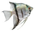 Silver Angelfish - PhotoDune Item for Sale
