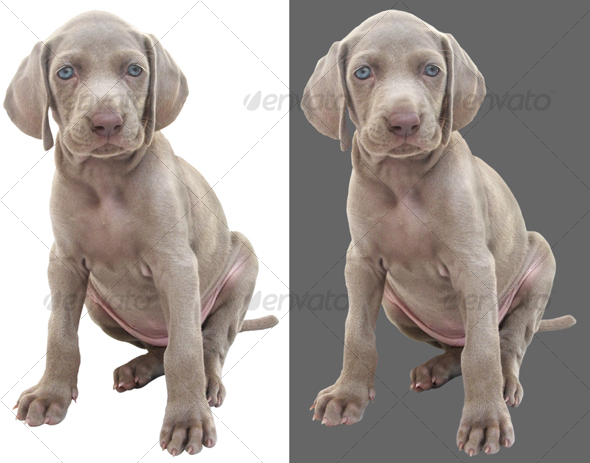Weimaraner puppy 01 - Nature & Animals Isolated Objects