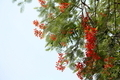 Royal Poinciana - PhotoDune Item for Sale