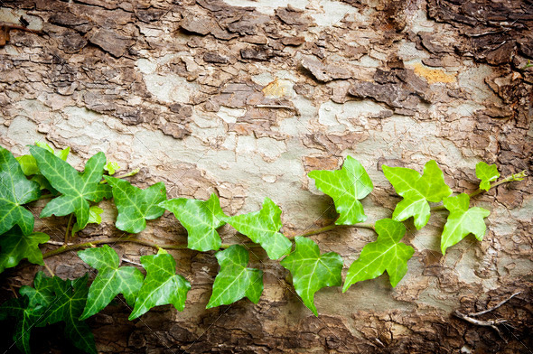 Tree Vine - Stock Photo - Images