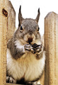 Squirrel on Fence - PhotoDune Item for Sale