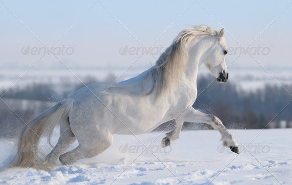 Galloping White Horse - Stock Photo - Images