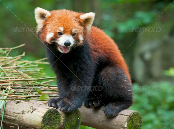 Curious red panda  - Stock Photo - Images