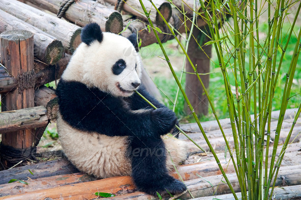 Hungry giant panda bear eating bamboo  - Stock Photo - Images