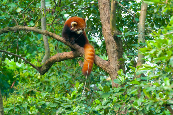 Red panda bear in tree  - Stock Photo - Images