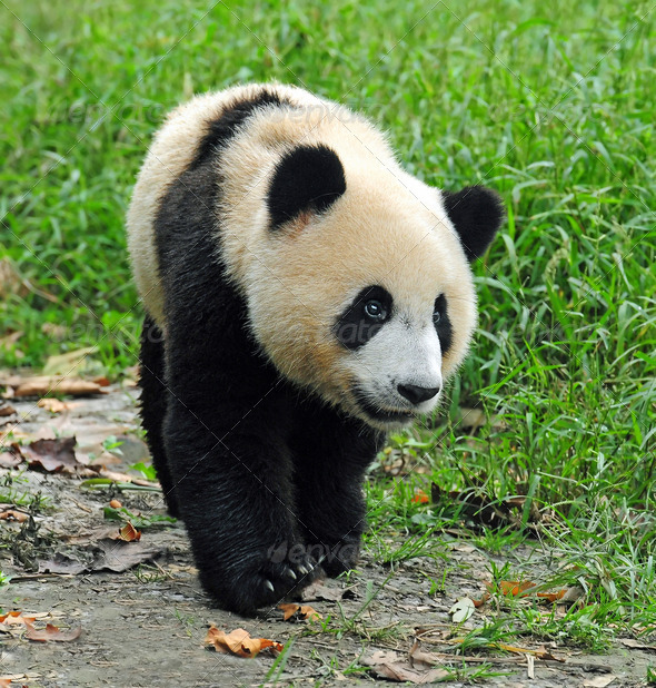 laws on the giant panda Faced with the temptation of extravagant profits, less-reputable individuals took the risks despite national conservation laws, and posed a direct threat the survival of the giant pandas - unrestricted expansion of human activities with the huge levels of population growth and urban development, forests are.