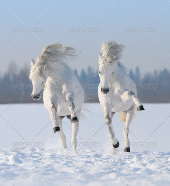 Two Galloping snow-white Horses - Stock Photo - Images