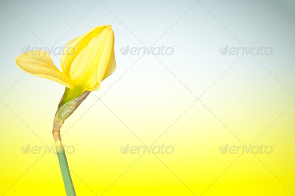 Early daffodil - Stock Photo - Images