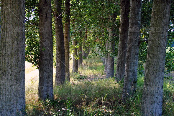 shady path through the trees in farmlands - Stock Photo - Images