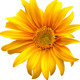 Sunflower Flower - GraphicRiver Item for Sale