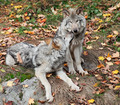 Two Gray Wolves Relaxing - PhotoDune Item for Sale