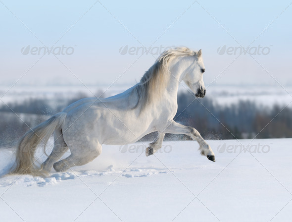White Horse Galloping on Snow hill - Stock Photo - Images