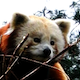 Animals HD/ Red Panda 2 - VideoHive Item for Sale