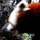 Animals HD/ Red Panda 1 - VideoHive Item for Sale