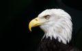 Eagle head threatened - PhotoDune Item for Sale