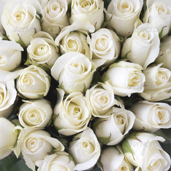 White Roses As A Background Stock Photo By Evthomas