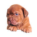 Mastiff puppy above white banner - PhotoDune Item for Sale