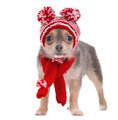 Chihuahua puppy dressed in red and white striped funny hat and scarf - PhotoDune Item for Sale