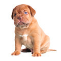 Blue-Eyed Cute Puppy - PhotoDune Item for Sale