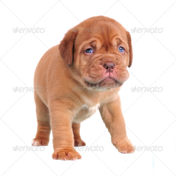 Walking Dogue De Bordeaux puppy - Stock Photo - Images