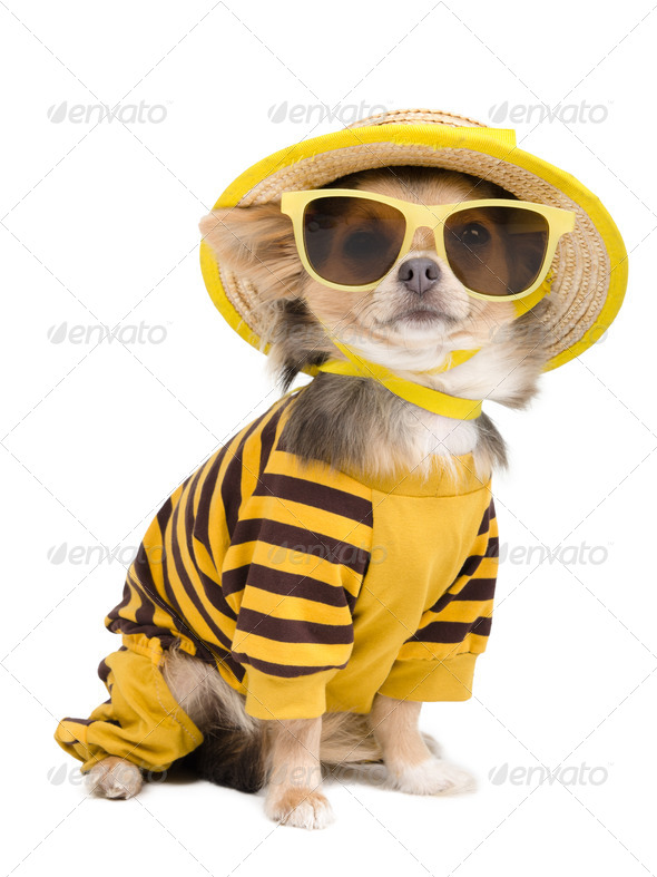 Summer chihuahua - Stock Photo - Images