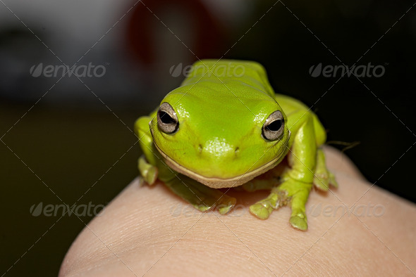 green tree frog - Stock Photo - Images