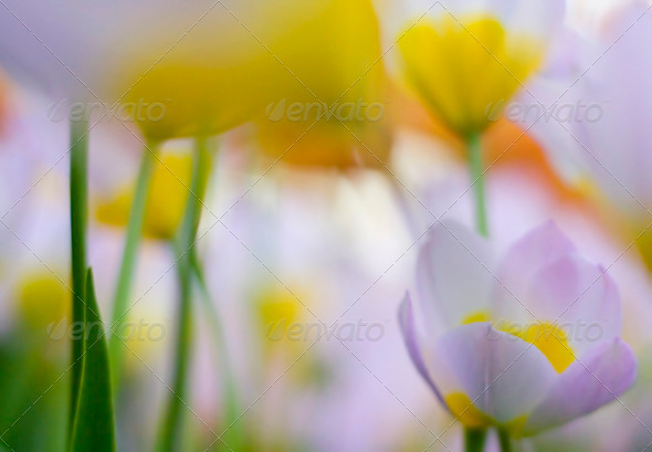 abstract tulips - Stock Photo - Images