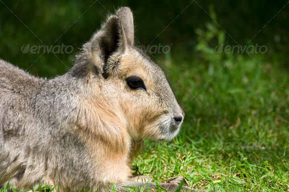 Patagonian Mara - Stock Photo - Images