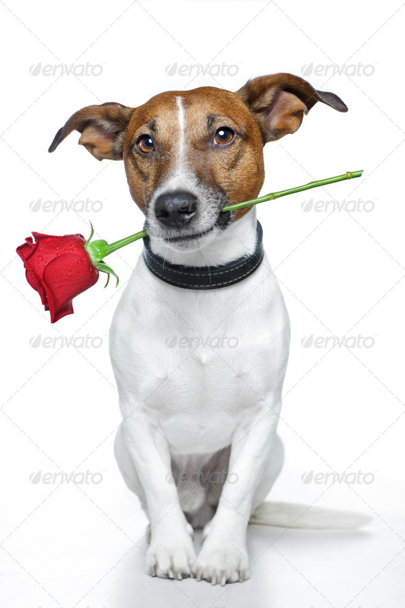Stock Photo - PhotoDune Red rose with dog 1746575