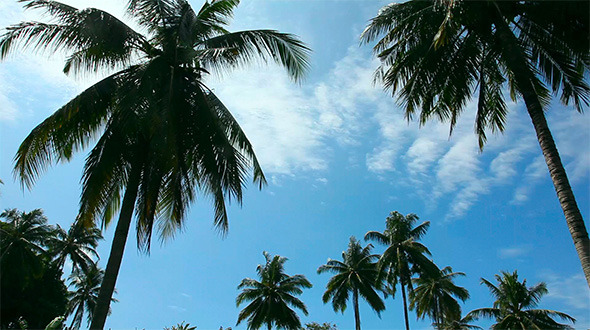 Coconut Palms VideoHive Stock Footage  Nature 1717330