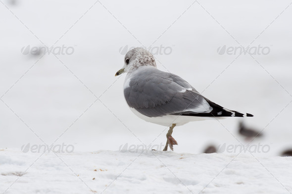 seagull at winter time - Stock Photo - Images