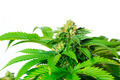 Marijuana Plant - PhotoDune Item for Sale