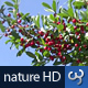 Nature HD | Red Berries I - VideoHive Item for Sale