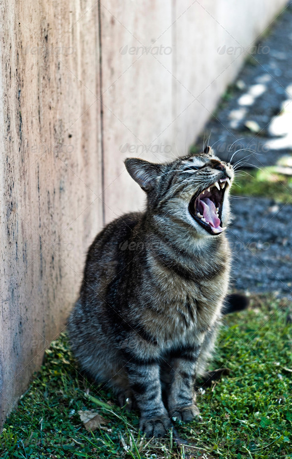 Yawning Cat - Stock Photo - Images