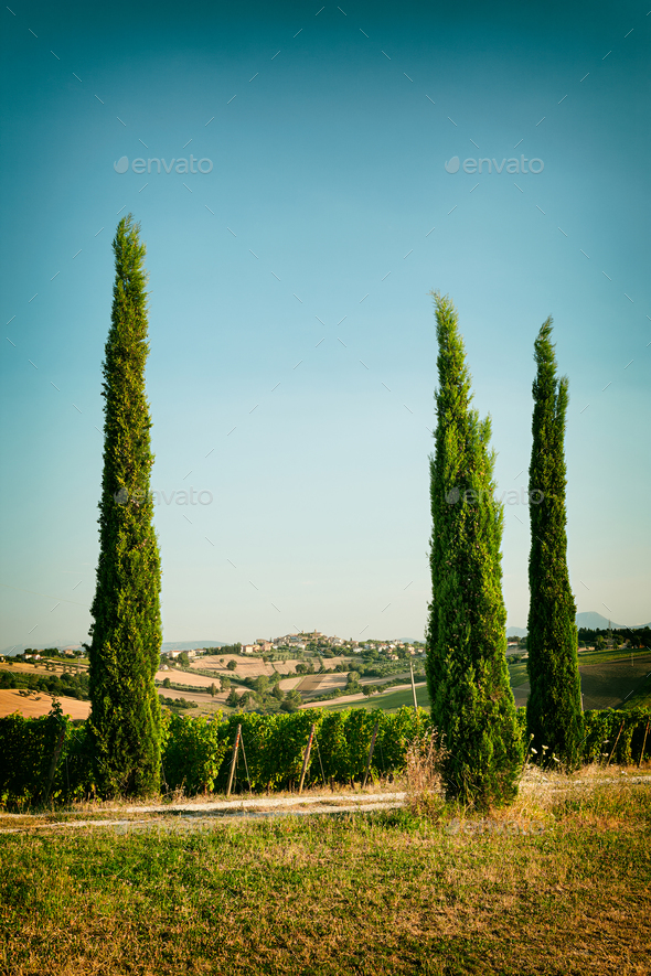 Morro D'Alba Italy  city pictures gallery : Vineyard fields near Morro d'Alba in Marche, Italy Stock Photo by ...