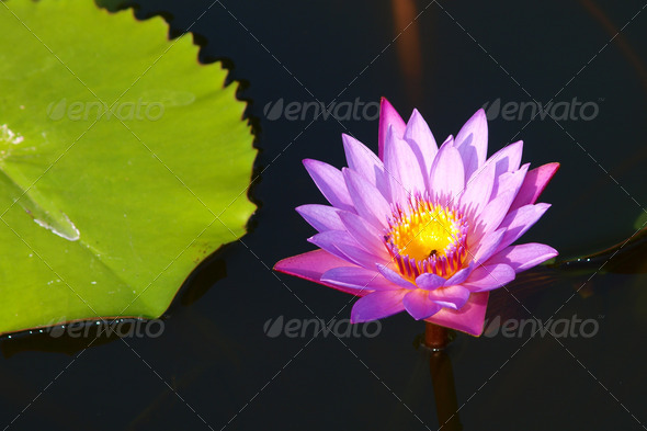 Pink water lily is blooming - Stock Photo - Images