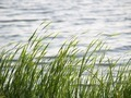 Lake Grass - PhotoDune Item for Sale