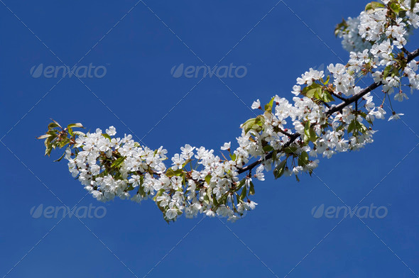 in blossom - Stock Photo - Images