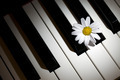 Daisy and Piano - PhotoDune Item for Sale