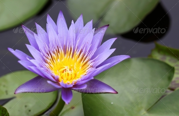 A Purple Lotus in pool - Stock Photo - Images