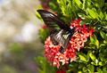 Butterfly on Ixora Flower - PhotoDune Item for Sale