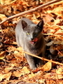 Grey Leaf Cat - PhotoDune Item for Sale
